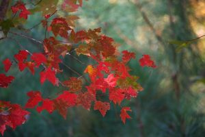 Red leaves on maple tree